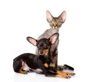 Devon rex cat and toy-terrier puppy together. isol Royalty Free Stock Image
