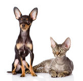 Devon rex cat and toy-terrier puppy together. Stock Images