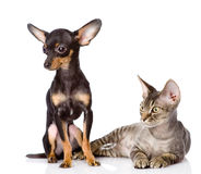 Devon rex cat and toy-terrier puppy together. Stock Image