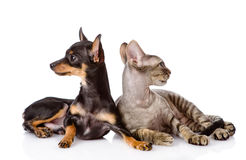 Devon rex cat and toy-terrier puppy together. looking away. isol Stock Photo