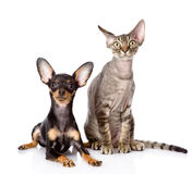 Devon rex cat and toy-terrier puppy together. Stock Photo