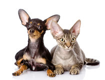 Devon rex cat and toy-terrier puppy together. Looking at camera royalty free stock photography