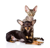 Devon rex cat and toy-terrier puppy together Royalty Free Stock Photos