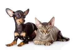 Devon rex cat and toy-terrier puppy together. Royalty Free Stock Image