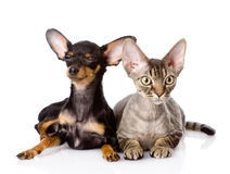 Devon rex cat and toy-terrier puppy together. look Stock Photos