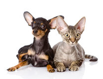 Devon rex cat and toy-terrier puppy together. looking at camera. Royalty Free Stock Photo