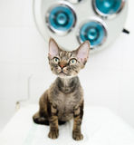 Devon rex cat in veterinary clinic.  Royalty Free Stock Photo