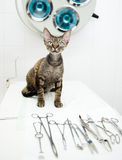 Devon rex cat in veterinary clinic near medical tool Stock Photos