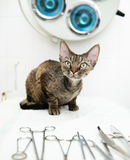 Devon rex cat in veterinary clinic near medical tool Stock Photography