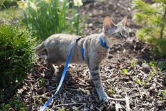 Devon Rex cat is walking in the garden on a leash. Cat is walking outdoor. Adventure cat. Cat enjoying being in fresh air. The pleasure of fresh air and sunshine Royalty Free Stock Photo