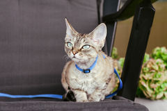 Devon rex cat is walking on a leash. Beautiful tabby cat sitting outdoor in armchair in fresh air. Cat enjoys to be outside Stock Photography
