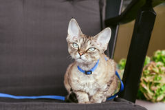 Devon rex cat is walking on a leash Stock Image