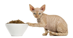Devon rex eating from a white bowl isolated on white. Side view of a Devon rex kitten eating from a white bowl isolated on white Stock Photos