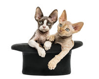 Devon rex getting out of a hat isolated on white Stock Photography