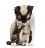 Devon rex grooming himself Royalty Free Stock Photo