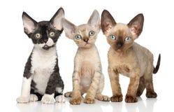 Devon-Rex Kätzchengruppe auf weißem Hintergrund Lizenzfreie Stockfotos