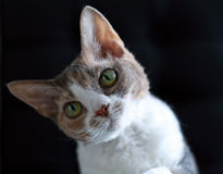 Devon Rex-kat Royalty-vrije Stock Foto