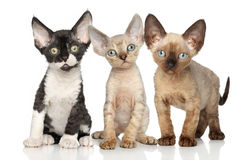 Devon-Rex katjesgroep op witte achtergrond Royalty-vrije Stock Foto's