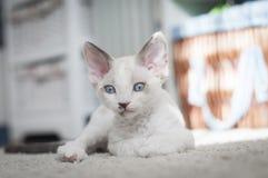 Devon Rex kattunge Royaltyfri Fotografi