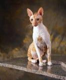 Devon-rex Katze Stockfotografie
