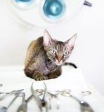 Devon-rex Katze in der Veterinärklinik nahe medizinischem Werkzeug Lizenzfreies Stockfoto