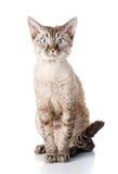 Devon-rex Katze des Porträts graue mit den großen Ohren auf weißem Hintergrund Stockfoto