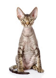 Devon-rex Katze, die in der Front sitzt Betrachten der Kamera Stockfotografie