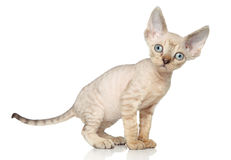 Devon Rex kitten. (one month) posing on white background stock photo