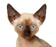 Devon Rex kitten. Close-up portrait Stock Photography