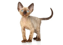 Devon Rex kitten (one month) Stock Images