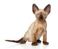 Devon-Rex kitten on a white background Stock Photo
