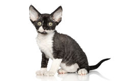 Devon Rex kitten on white background Stock Photos