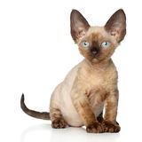Devon Rex kitten on white background Royalty Free Stock Photo