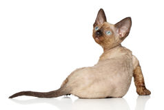 Devon Rex kitten on white background Royalty Free Stock Image