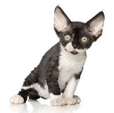 Devon-Rex kitten on white background Royalty Free Stock Image