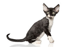 Devon Rex kitten on white background Royalty Free Stock Photography
