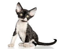 Devon Rex kitten on a white background Stock Image