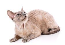 Devon Rex kitten on a white. Background, studio shoot royalty free stock photo
