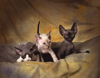 3 devon rex kittens. A cream, a black and a bicolor devon rex kittens playing on a green backdrop,  shot in studio Royalty Free Stock Images