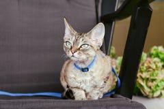 Devon rex kota odprowadzenie na smyczu Fotografia Stock