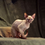 Devon rex Royalty Free Stock Photo