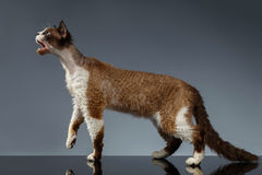 Devon Rex with opened mouth in Profile view on Gray Royalty Free Stock Image
