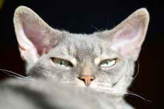 Devon rex with perfect bloodline. Interested looking face of a devon rex with perfect bloodline Royalty Free Stock Images