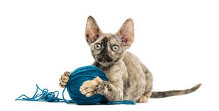 Devon rex playing with a wool ball isolated on white Royalty Free Stock Photo