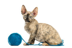 Devon rex playing with a wool ball isolated on white Stock Photography