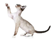 Devon Rex pulls paw upward on a white background Stock Photo