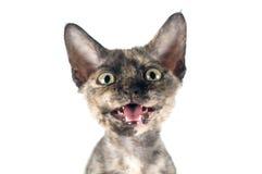 Devon rex purebrebred cat on white Stock Photo