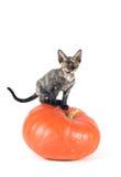 Devon rex purebrebred cat on white Royalty Free Stock Image