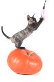 Devon rex purebrebred cat on white Royalty Free Stock Photos