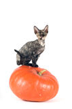 Devon rex purebrebred cat on white Royalty Free Stock Images